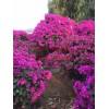 园林绿化广西三角梅,三角梅批发,价格,广西三角梅种植基地供应