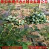 批发直销高丛蓝莓苗 蓝莓苗价格 优质蓝莓苗品种
