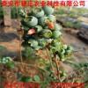 哪里出售优质蓝莓苗 高丛 半高丛蓝莓苗直销出售