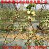 北陆蓝莓苗 北蓝蓝莓苗出售  优质美国蓝莓苗价格