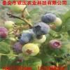 2公分都克蓝莓苗批发出售 蓝莓苗价格 蓝莓苗供应