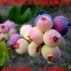 1年生蓝丰蓝莓苗出售 公爵蓝莓苗出售 蓝莓苗供应