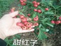 甜红籽山楂苗种植基地