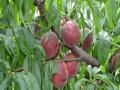 哪里有卖桃树苗 占地桃树