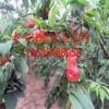 哪里有卖桃树苗的 新品种桃树苗批发多少钱一棵