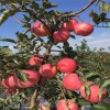 嫁接苹果苗批发 苹果苗图片 苹果苗价格 红富士苹果苗供应