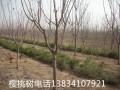 3公分樱桃树 3公分樱桃苗
