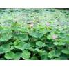 水生植物的养殖方法