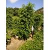 重庆垂叶榕、供应重庆垂叶榕价格、优质垂叶榕批发采购