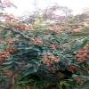 新品种花椒苗 1年生花椒苗多少钱一棵