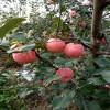 苹果苗哪里有、1公分苹果苗多少钱、新品种苹果苗报价