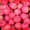 烟富三号苹果苗种植技术赠送种植技术出售