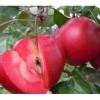 当年红色之爱苹果苗 矮化红肉苹果苗价格 果树苗