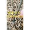红油板栗苗出售 保证成活率 红油板栗苗产量高