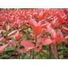 红叶小檗供应 80公分红叶小檗低价出售 山东苗木基地直销