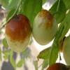 枣树占地苗多少钱|销售枣树占地苗/山东枣树占地苗多少钱一棵