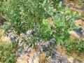 北高丛北陆蓝莓苗