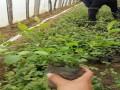 优质蓝莓苗供应