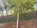 柳树,国槐,刺槐,金叶榆