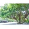 贵州榕树,榕树自产自销,贵州榕树价格合理