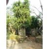 云南造型榕树,造型榕树优美,优质造型榕树批发