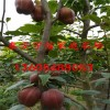 梨树苗出售 今年准确的梨树苗价格是多少