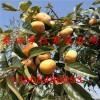 优质柿子苗价格 柿子苗价格 柿子小苗多少钱