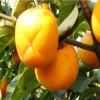 富有柿子苗哪里有 斤柿柿子苗市场价格