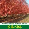 红枫、美国红枫、日本红枫、嫁接红枫、籽播红枫苗、五角枫基地