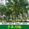 七葉樹、白花七葉樹、紅花七葉樹、國槐、大國槐、移植國槐