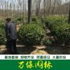 大叶黄杨球图片-大叶黄杨球价格-沭阳绿化苗木基地产地