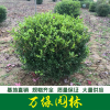 瓜子黄杨球图片-瓜子黄杨球价格-沭阳绿化苗木基地产地