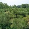 油松树苗 2米高油松树苗