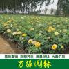 供应北京红帽月季、黄帽月季、丰花月季、盆栽月季规格齐全