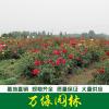 红帽月季价格_红帽月季产地_红帽月季绿化苗木苗圃基地