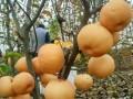 山东丰水梨树苗