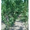 泰安自家杏树苗基地 红金杏杏树苗 珍珠油杏树苗 凯特杏苗价格