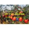 早酥红梨梨树苗 早酥红利梨树苗多少钱一棵 早酥红梨梨树苗批发