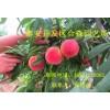 山东水蜜桃鸿运国际官网 山东水蜜桃鸿运国际官网新品种 山东新品种水蜜桃苗