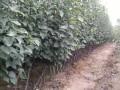 丰水梨树苗