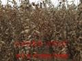 板栗树苗价格多少