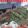 哪里供應北海道黃楊 優質北海道黃楊批發出售