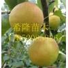 玉露香梨苗批发价格  玉露香梨苗种植技术