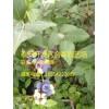 蓝莓苗、我要买蓝莓苗、蓝莓苗多少钱一棵