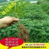 花椒树苗 基地供应优质花椒苗 大红袍花椒苗 规格齐全 花椒苗