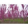 山东济南紫荆绿化工程苗销售中心 紫荆种子批发价格