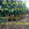 一棵秋月梨树苗多少钱 梨树苗基地价格