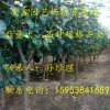 1公分梨树苗2公分秋月梨树苗3公分梨树苗哪里卖