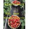 山东草莓苗哪里买、草莓苗多少钱一棵
