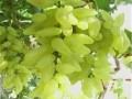 葡萄苗种植管理